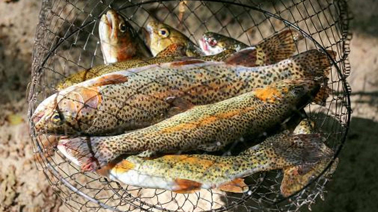 trout release coming friday