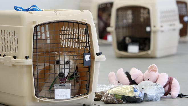 A dog sits in its crate near stuff toy pigs and pet food  in this 2009 file photo