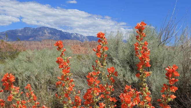 Globe mallow grows along the Mill Creek Trail in the Red Cliffs Desert Reserve north of Washington City. Globe Mallow grows along the Mill Creek Trail in the Red Cliffs Desert Reserve north of Washington City.