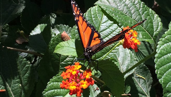 A monarch butterfly explores the flowers of the Desert Botanical Gardens in Phoenix.