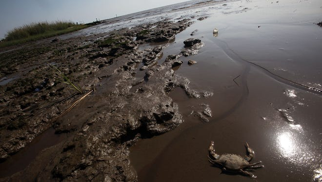 A dead crab is seen in a piece of marsh ravaged by the effects of the BP oil spill April 17, 2011 in Ocean Springs, Mississippi. BP's $500 million settlement is set to help fund oil spill prevention and safety research.
