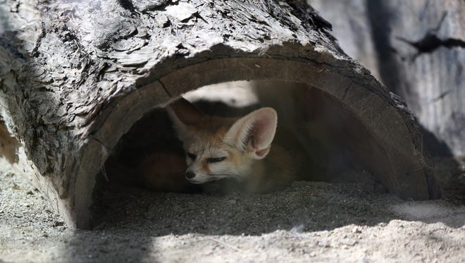 A fennec fox rests in the shade at the Living Desert Zoo on Wednesday, July 13, 2016.