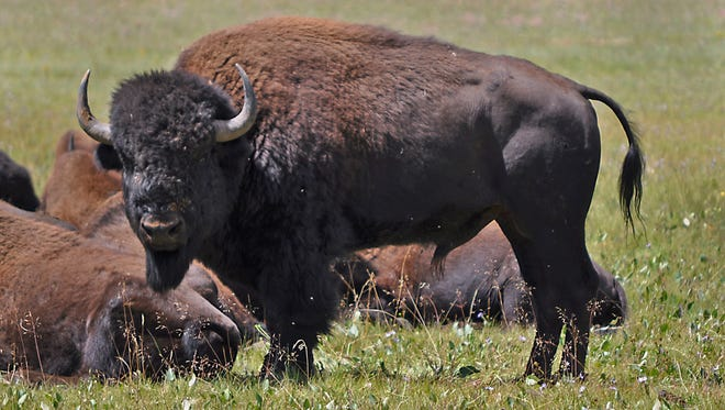 These bison roam in the Kaibab National Forest, adjacent to the Grand Canyon.