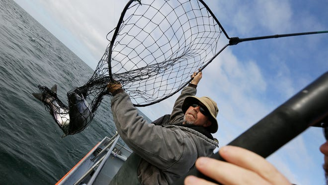 In this photo taken Aug. 29, Jared Davis hauls in a salmon caught off the coast of Stinson Beach, Calif. After five years of California drought, the sleek, flapping salmon that fishermen were hauling aboard the rolling Salty Lady charter boat this week were the survivors of the survivors, there to be hooked and netted only because state and federal agencies have stepped in to do much of the salmon-raising that the state's overtapped rivers used to do.