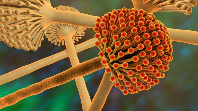A 3-D image of Fungi Aspergillus mold