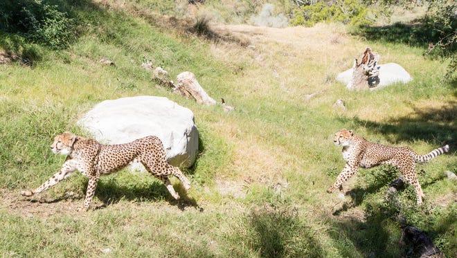 Cheetahs run through the Living Desert as part of a day long celebration of International Cheetah Day, Sunday, December 4, 2016.