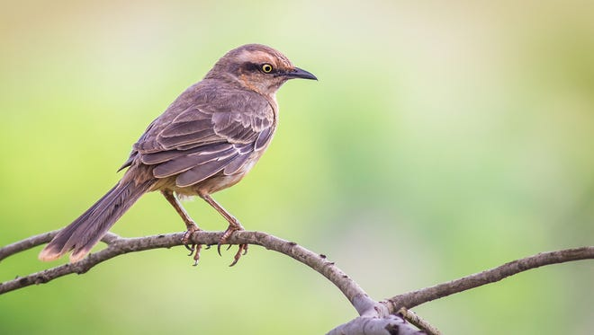 Mockingbirds are attracted to berry-producing plants and shrubs.