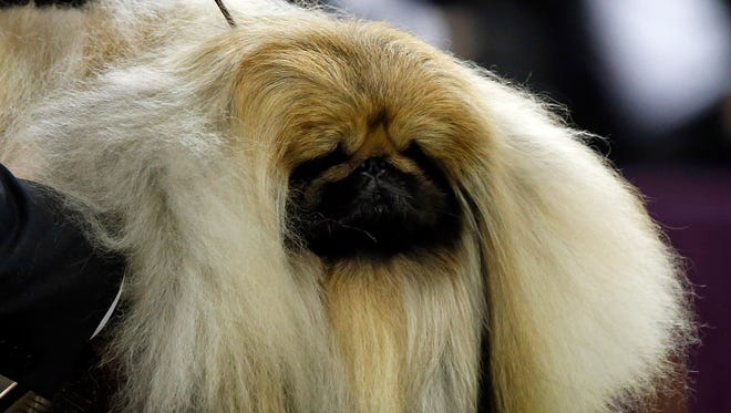 Chuckie a Pekingese is the winner of the toy group at the 141st Westminster Kennel Club Dog Show on Feb. 13.