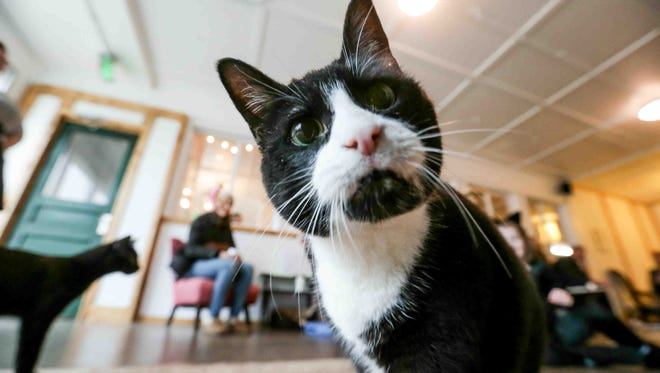 Cat cafes are opening in cities around the world and the United States, like the new Nine Lives Cat Cafe in Fountain Square, which opened in January.