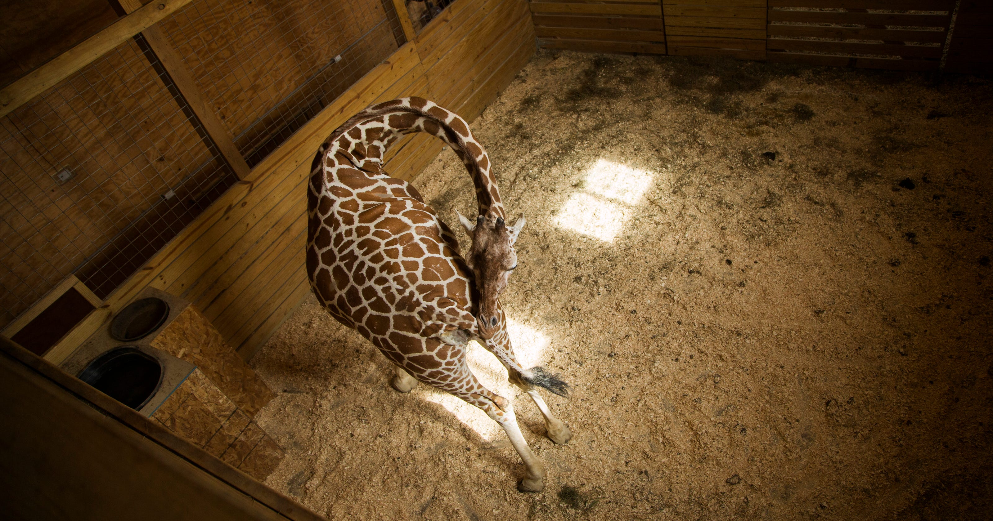 April the giraffe's pregnancy is advancing: When will she give birth?