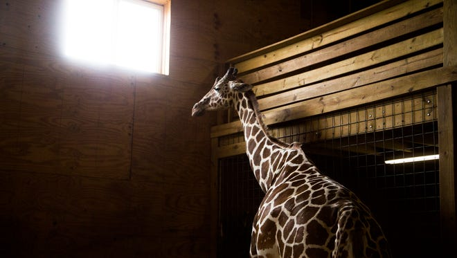 All eyes remain on April the giraffe as she waits to deliver her baby at Animal Adventure in Harpursville.