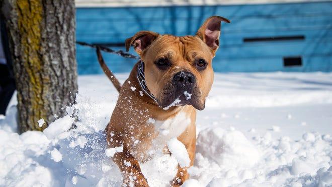 Kellz, a 1-year-old pitbull, bounds through the snow on Oak Street in Binghamton on Thursday.