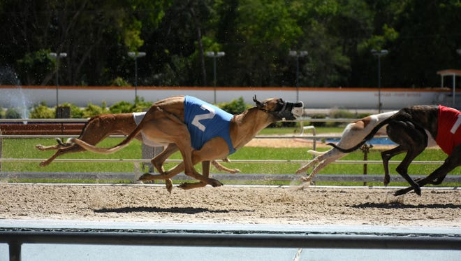 Dogs racing at the Naples-Fort Myers Greyhound Track in Bonita Springs. Track operators say reducing the number of races required by the state would help them compete with other gambling venues.