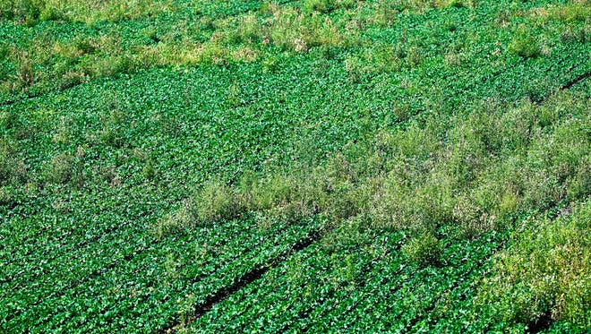 A soybean field off of Ky 425 choked with Pigweed Thursday. The broadleaf weed, which is resistant to herbicides, is becoming a big problem for area farmers, July 13, 2017.