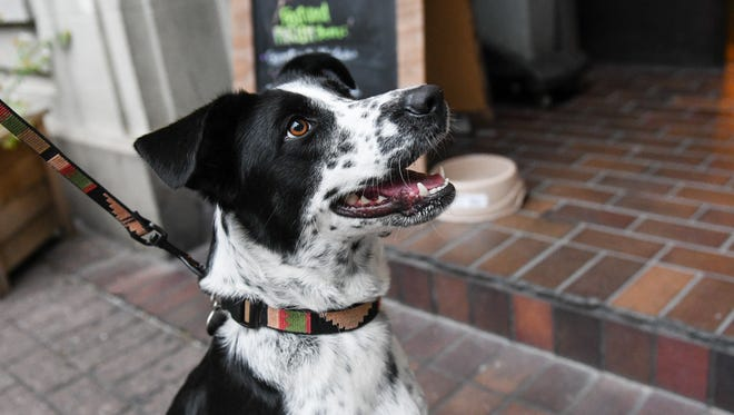 Jasmine Dore waiting for a treat at the Downtown Dog Crawl in partnership with Social Entertainment, Camp Bow Wow, and Lyla's Treats.  Friday, July 21, 2017.