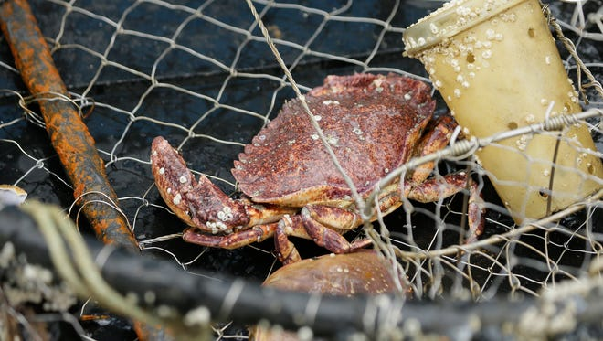 In this Aug. 7 photo, a crab sits in an abandoned crab pot off Half Moon Bay, Calif. Fisherman are using GPS positioning in their cellphones to voluntarily step up recovery of abandoned crab pots before they snare whales. Some environmental groups say the state should put in place more mandatory protection measures, such as blocking fishermen from especially important waters for whales.