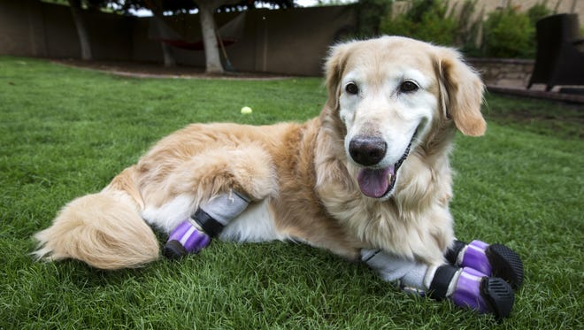 Chi Chi, a golden retriever, lies in the grass on Wednesday, Oct. 18, 2017 in Phoenix. Chi Chi's legs were amputated after she was abused in South Korea, and is now certified as a therapy dog.