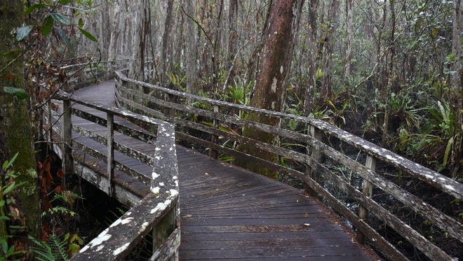 """An """"early bird"""" birdwatching walk is just one of many ways to experience the natural beauty of the Corkscrew Swamp Sanctuary."""