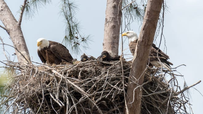 A photo of the Marco Island Nature Preserve & Bird Sanctuary bald eagles taken just days before one of the adult birds died.