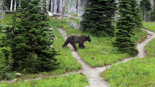 FILE - In this Aug. 3, 2014, file photo, a grizzly bear walks through a back country campsite in Montana's Glacier National Park.
