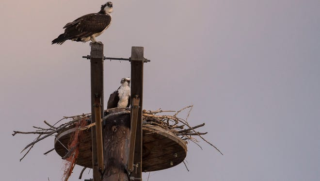 A pair of mating osprey sit on their perch just to the South of East Prospect Road in the Running Deer Natural Area on Monday, April 9, 2017, in Fort Collins, Colo.