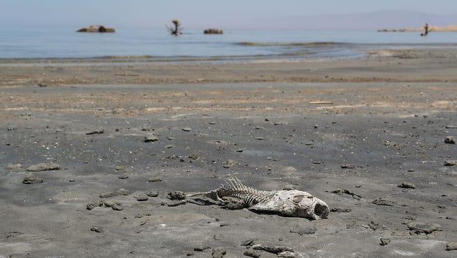 A dead fish on the shoreline of the Salton Sea near Obsidian Butte, June 11, 2018.