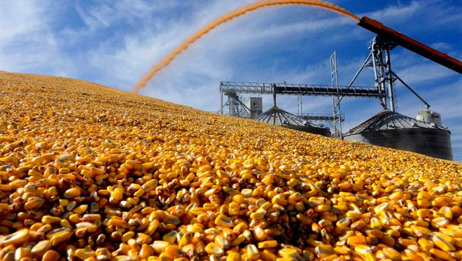 Farmers deposit harvested corn outside a grain elevator.