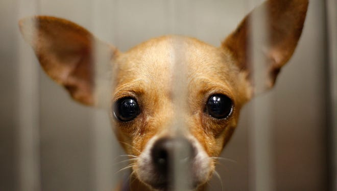 A Chihuahua waits adoption at a Los Angeles Department of Animal Services shelter in this file photo