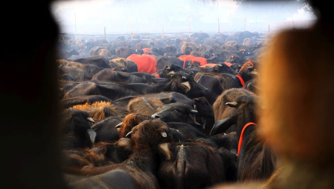 A herd of buffaloes stand before they are slaughtered during a mass sacrifice ceremony at Gadhimai temple in the jungles of Bara district, south of Katmandu, Nepal, on Nov. 28, 2014.