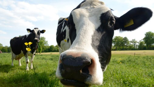 Common symptoms of illness from drinking contaminated raw milk include vomiting, diarrhea, abdominal cramps, headaches, fever and body aches.