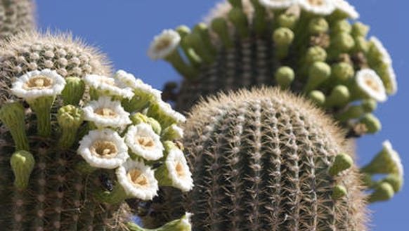 Saguaros in bloom at Usery Mountain Regional Park.