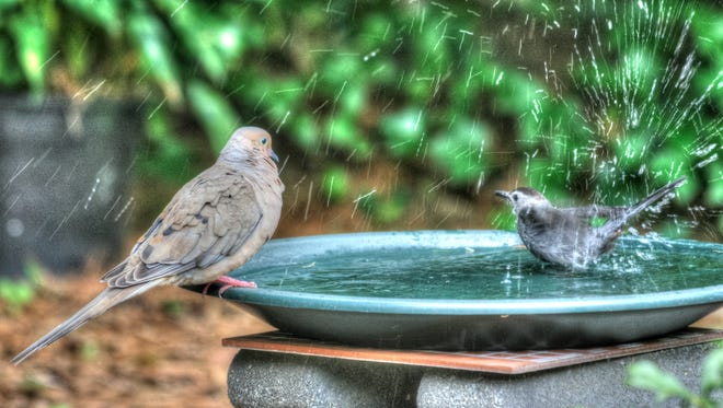 A dove watches a chickadee taking a bath