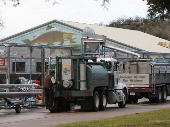 Trucks full of young steelhead trout get ready to leave