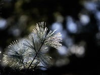 Frost covers pine needles during a past cold-weather event.