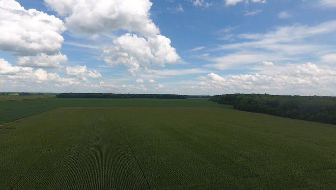 Matt Martin's corn crop, 2016.