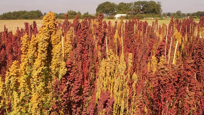 An international team of scientists, including quinoa breeding experts from Wageningen University & Research, published the complete DNA sequence of quinoa – the food crop that is conquering the world from South America – in Nature magazine on Feb. 8.