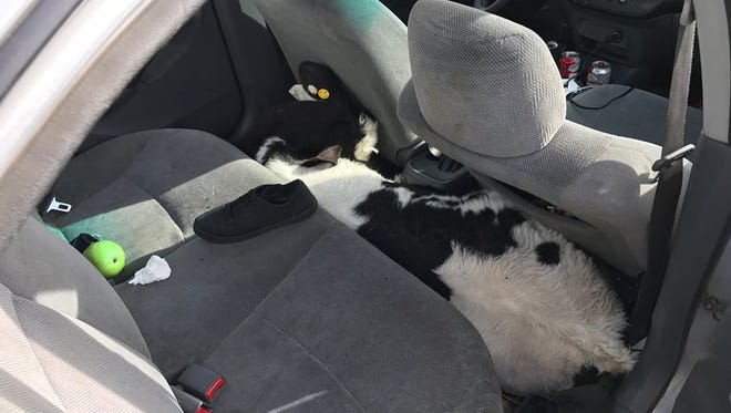A calf is wedged in the back seat of a Honda Civic. It was one of two calves that were discovered along Interstate 10 in Beaumont Saturday morning.