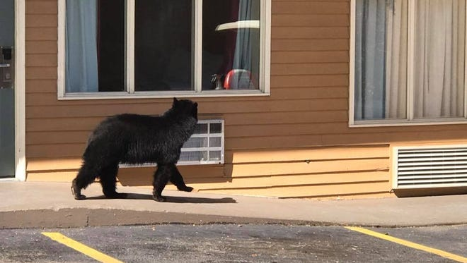 A black bear scopes out a room at the Parkview Inn in Gatlinburg.