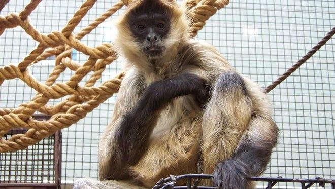 Spiderman, the Seneca Park Zoo  spider monkey