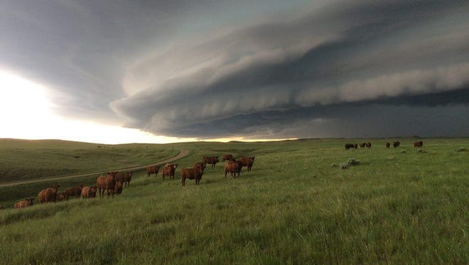 Cattle graze placidly as a thunderstorm super cell rotates over eastern Fergus County. The June 10 storms brought widespread damage to the Roy area.