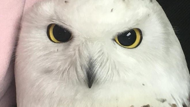 A beautiful, perfect snowy owl, ready to tell you like it is.