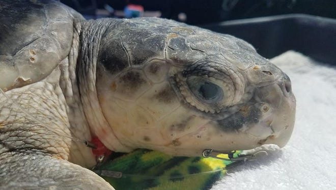 Clark the Kemp's ridley sea turtle was rescued on Navarre Pier on Friday and transported to the Gulfarium CARE Center in Okaloosa County.
