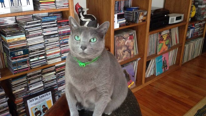 Pinko, a Russian Blue with a timetable, awaits his grooming ritual atop a well-scratched recliner.