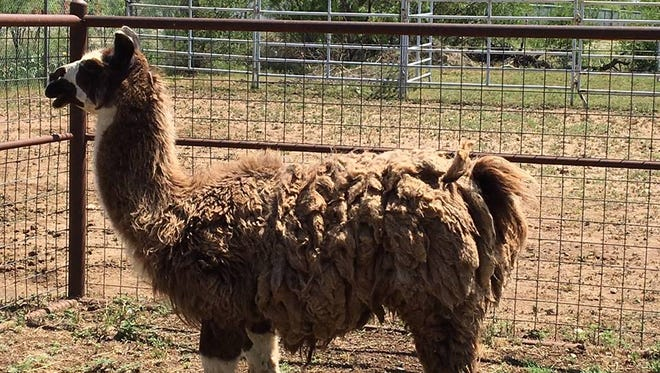 A loose llama left at San Angelo's Animal Shelter will be listed for $50 beginning May 29 to one lucky buyer.