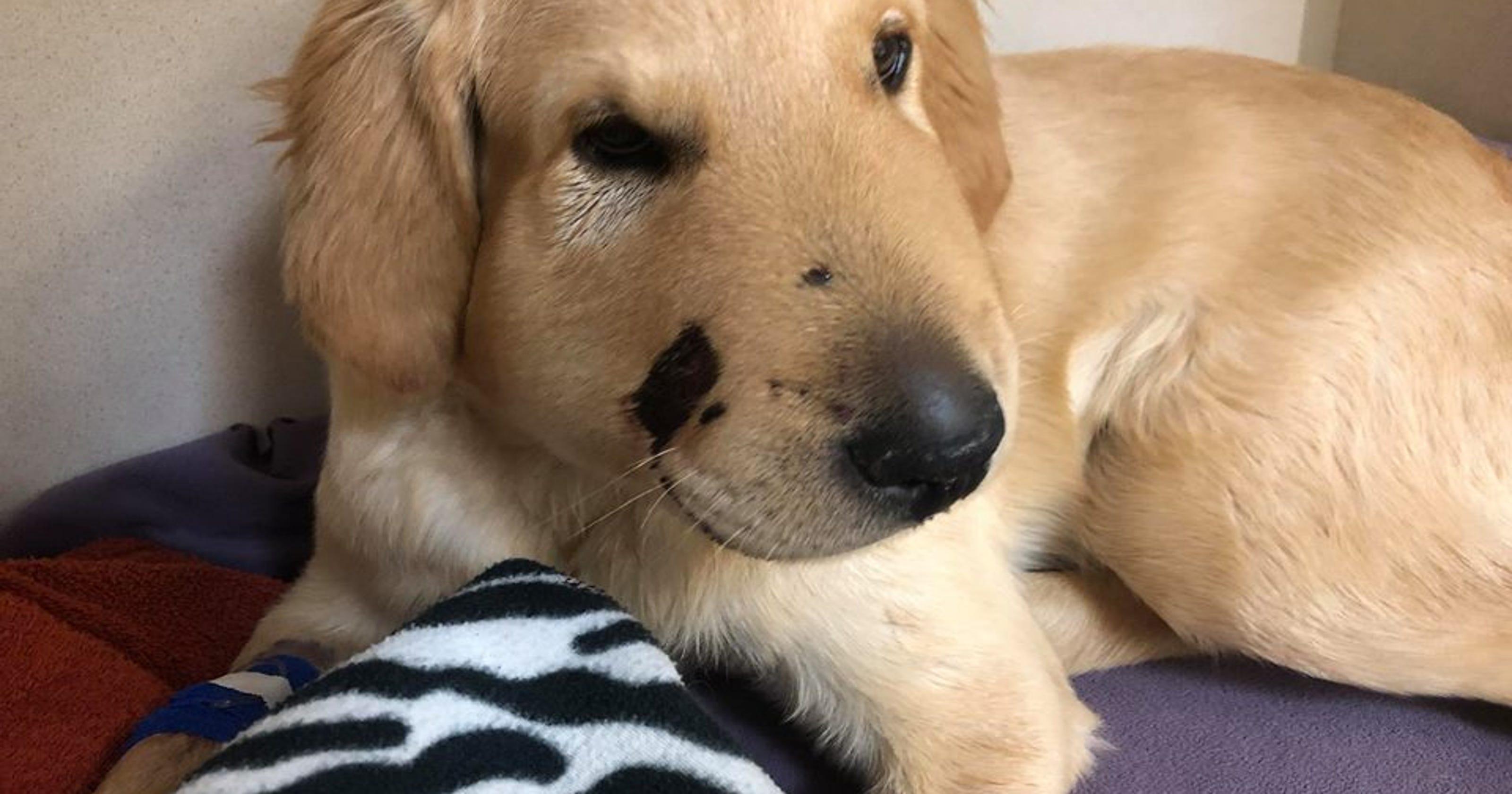 Dog bitten by rattlesnake called 'hero' for saving owner in