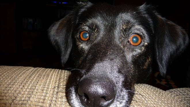 This pregnant Lab cross was found Friday near Ovando. The couple who found her hopes to reunite her with her owners.
