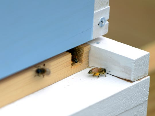 A pollen laden honey bee prepares to enter the hive Wednesday at the Johnson house hold near Thornville.