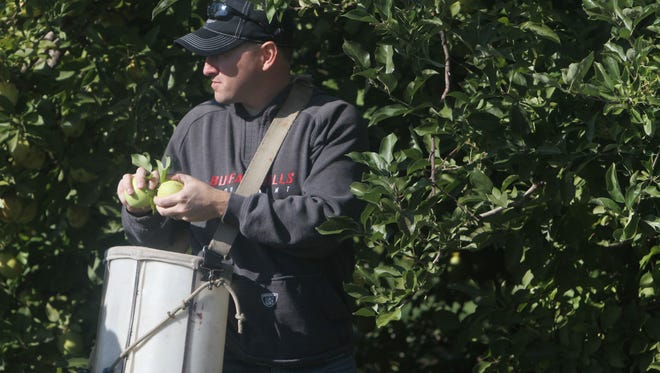 Todd Clausen picks some apples at G and S Orchards in Wayne County.