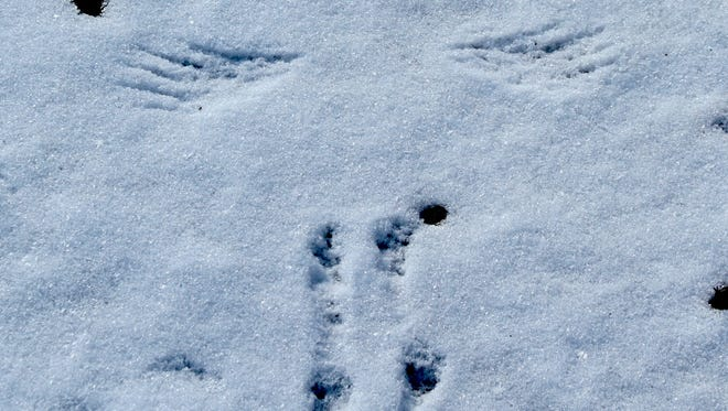 The wing and foot tracks of a cardinal are show in takeoff.