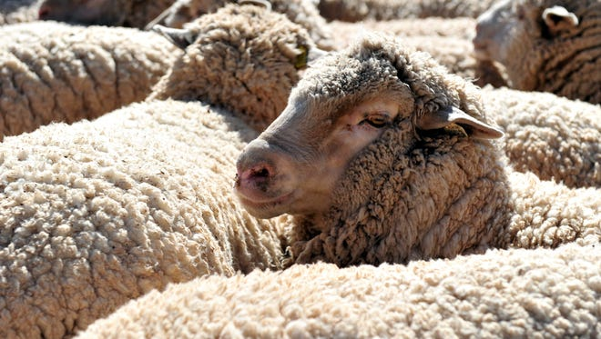 Sheep wait in a holding pen at the annual Wooly Bully Mutton Bustin at the Downtown Stockyards.